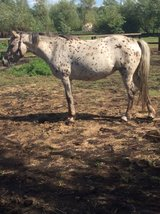 Appaloosa for loan in Lakenheath, UK