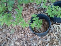 Forsythia, 3-gal pot in Warner Robins, Georgia