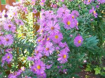Aster in Westmont, Illinois
