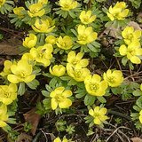 WINTER ACONITE: Hardy Early Perennial Plants in Naperville, Illinois