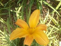 """Daylily, """"D. R. McKeithan"""" in Perry, Georgia"""