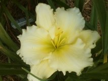 "Daylily, ""White Parasol"" in Perry, Georgia"