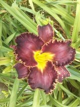 "Daylily, ""Edge of Eden"" in Warner Robins, Georgia"
