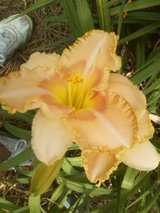 "Daylily, ""Wisest of Wizards"" in Warner Robins, Georgia"