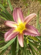 "Daylily, ""Star of India"" in Byron, Georgia"
