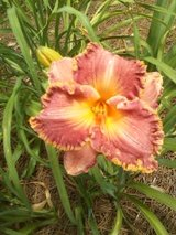 "Daylily, ""Spacecoast Cranberry Breeze"" in Warner Robins, Georgia"