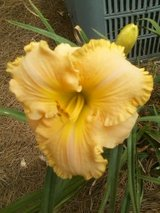 "Daylily, ""Collier"" in Warner Robins, Georgia"