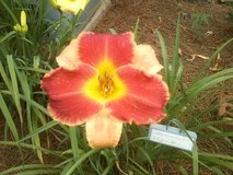 "Daylily, ""New Perspective"" in Warner Robins, Georgia"