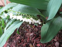 Lily of the Valley - Likes the shade in Naperville, Illinois