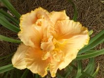 "Daylily, ""Southport"" in Perry, Georgia"