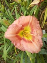 "Daylily, ""Chorus Line Kid"" in Warner Robins, Georgia"