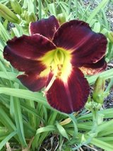 "Daylily, ""Byran Paul"" in Perry, Georgia"