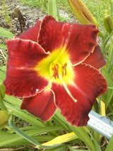 """Daylily, """"Cherry Frills"""" in Perry, Georgia"""