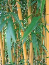 Exotic Beautiful, Majestic, Live Golden Bamboo Privacy Screen,Walls Or Beautiful Show Piece! in Conroe, Texas