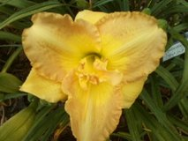 "Daylily, ""Grecian Sands"" in Perry, Georgia"