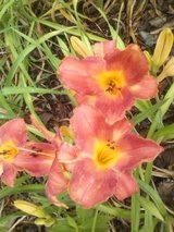"Daylily, ""Vermillion Clouds"" in Warner Robins, Georgia"