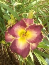 "Daylily, ""Forbidden Desires"" in Warner Robins, Georgia"