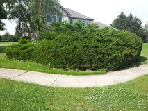 Need bush removed!!! in Plainfield, Illinois
