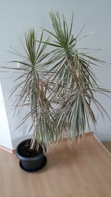 House Plant 5ft Dracaena Marginata plant with pot in Ramstein, Germany