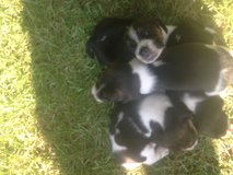 beagle puppies( small size) in Beaufort, South Carolina