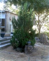 8 ft Spruce CUT FOR HOLIDAY TREE OR DIG OUT in Conroe, Texas