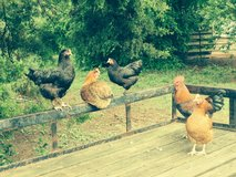 Laying hens in Conroe, Texas