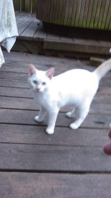 Solid white male cat in Conroe, Texas