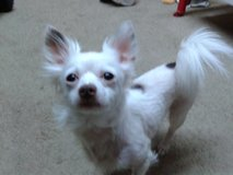 Lost white chihuahua in Conroe, Texas