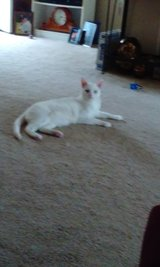 Solid White Cat in Beaufort, South Carolina