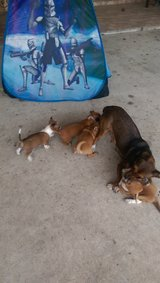 I have for sale two chihuahuas  mixed Jack Russell  female and a male the two months o in Conroe, Texas
