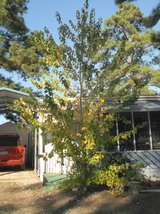 "Live Maple Tree. About 16 feet Tall. Trunk is 3¾"" Across. Ready To Be Dug Up Now in Conroe, Texas"