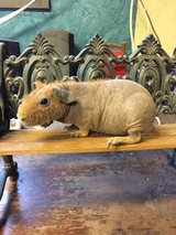 SKINNY (HAIRLESS) GUINEA PIGS in Conroe, Texas