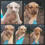 Pit Bull puppies in Conroe, Texas