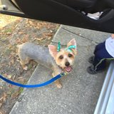 Lost Silky Terrier (large Yorkie) in Beaufort, South Carolina