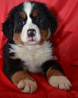 BUSTER - BERNESE MOUNTAIN DOG PUPPY FOR SALE,Text me at 406-888-6616 in Los Angeles, California