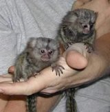 baby marmosets available in Los Angeles, California