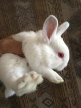 Baby bunny $ 20 in Nellis AFB, Nevada