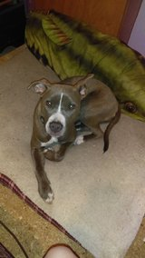 Rehoming our pitbull in Beaufort, South Carolina