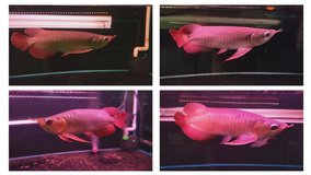Fresh Water Arowana Fishes and Acrylic Tanks Ready! in Oswego, New York