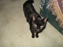 FREE SWEET BLACK CAT~4 MONTHS OLD in Travis AFB, California
