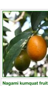 """We are looking for this fruit """"Kumquat fruit"""" in Fort Polk, Louisiana"""