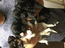 Rehoming puppies! in Riverside, California