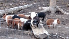 Pigs For Sale in DeRidder, Louisiana