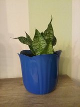 plant with blue plastic pot in Ramstein, Germany