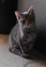 Kitten looking for good home in Fort Riley, Kansas
