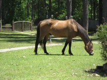 flashy QH Gelding in DeRidder, Louisiana