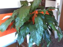 Large Peace Lily plant in Alamogordo, New Mexico