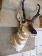 Antelope Head/Shoulder Mount in Orland Park, Illinois