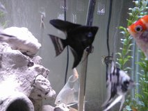 Variety of Angel fish in Chicago, Illinois