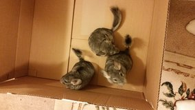 Chinchillas in El Paso, Texas